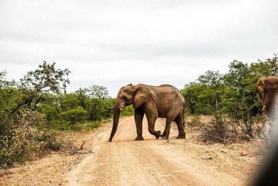 Elefant på promenad i Sydafrika - inspiration från en av Loopias kunder